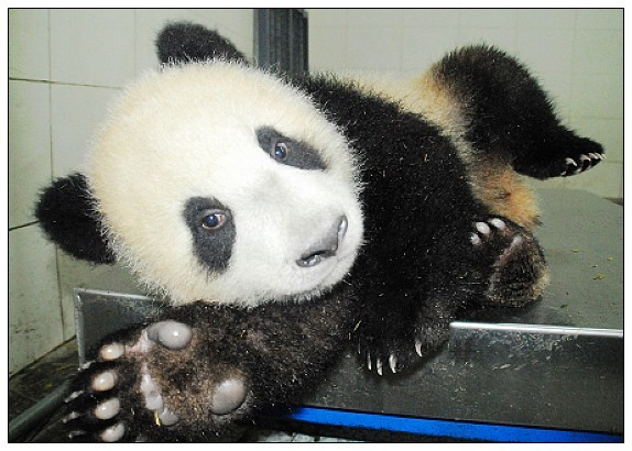 2008年7月13日,祖母级英雄妈妈英英顺利诞下一仔。该仔初生体重为173.5g,十分健康。由于是单胎,自出生后一直和妈妈在一起,从妈妈那里学到了不少生存本领,是现在13只熊猫宝宝中的大姐大。由于一直哺食母乳,身体十分强壮,现在已经17.7kg了,是最重的宝宝。长相遗传了妈妈的特点,头圆,鼻梁微微隆起,长长的黑眼圈。非常调皮,喜欢搞怪,经常在妈妈采食时对其进行从旁骚扰。目前尚没有被终生认养或特定认养。